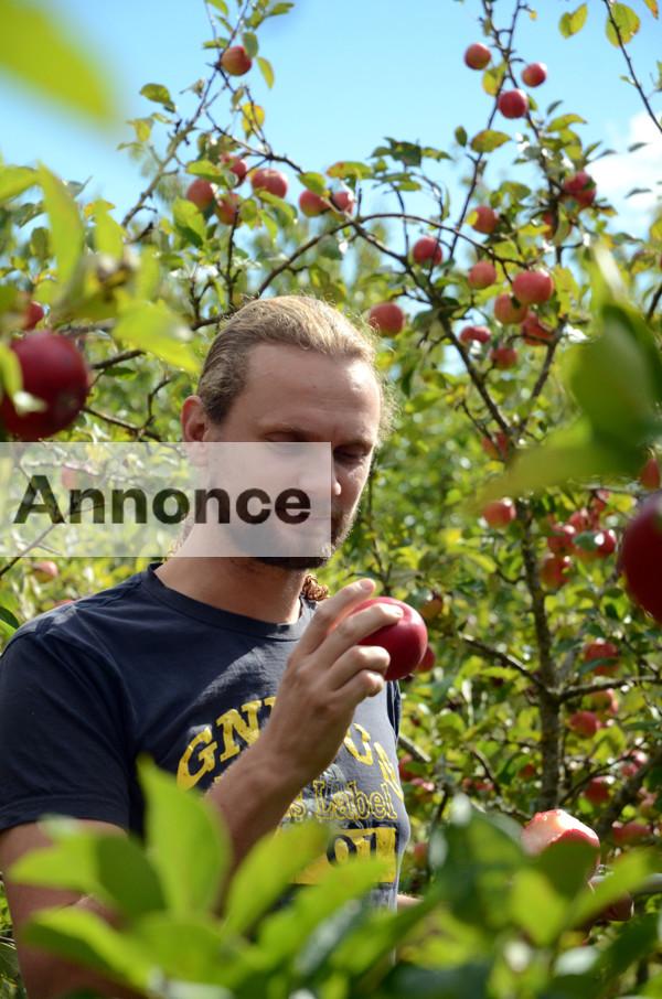 Søren Sørøver inspicerer årets æbler, der med tiden bliver til den dejligste vin.